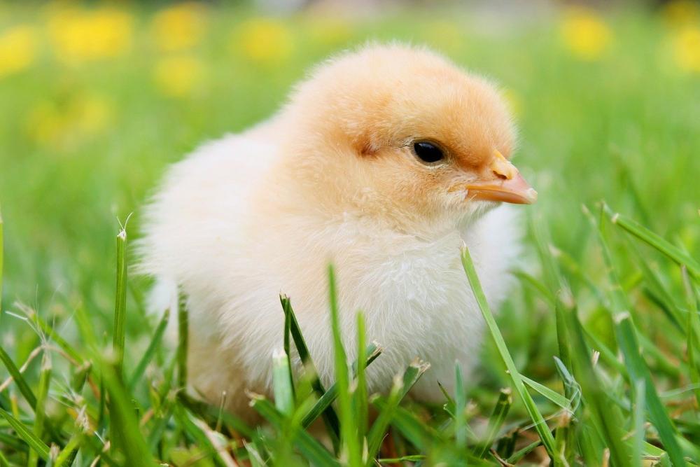 chicks-349035.thumb.jpg.efe350ab6829cfdf925799aff31c8d2f.jpg